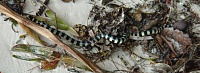 How to check quality of snake?-palauseasnake.jpg