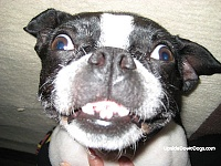 nominate a moderator for Electronic Music Instruments & Electronic Music Production!-hailey-boston-terrier-funny-dog-pic1.jpg