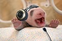 Is this cute or what? Baby panda photo-pandatra.jpg