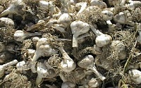 Who out there has experience with these?-garlic.jpg