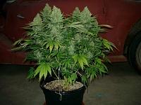 Plant Lovers....-marijuana-plant2.jpg
